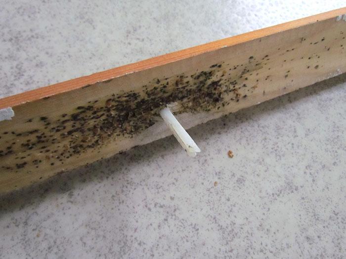 Luteita-ja-niiden-munia-lattialistassa